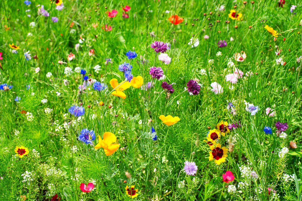 insektenfreundlicher Garten mit Wildblumen