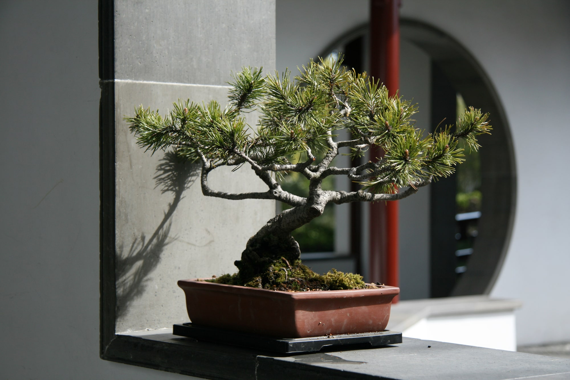 Bonsai Vorschau