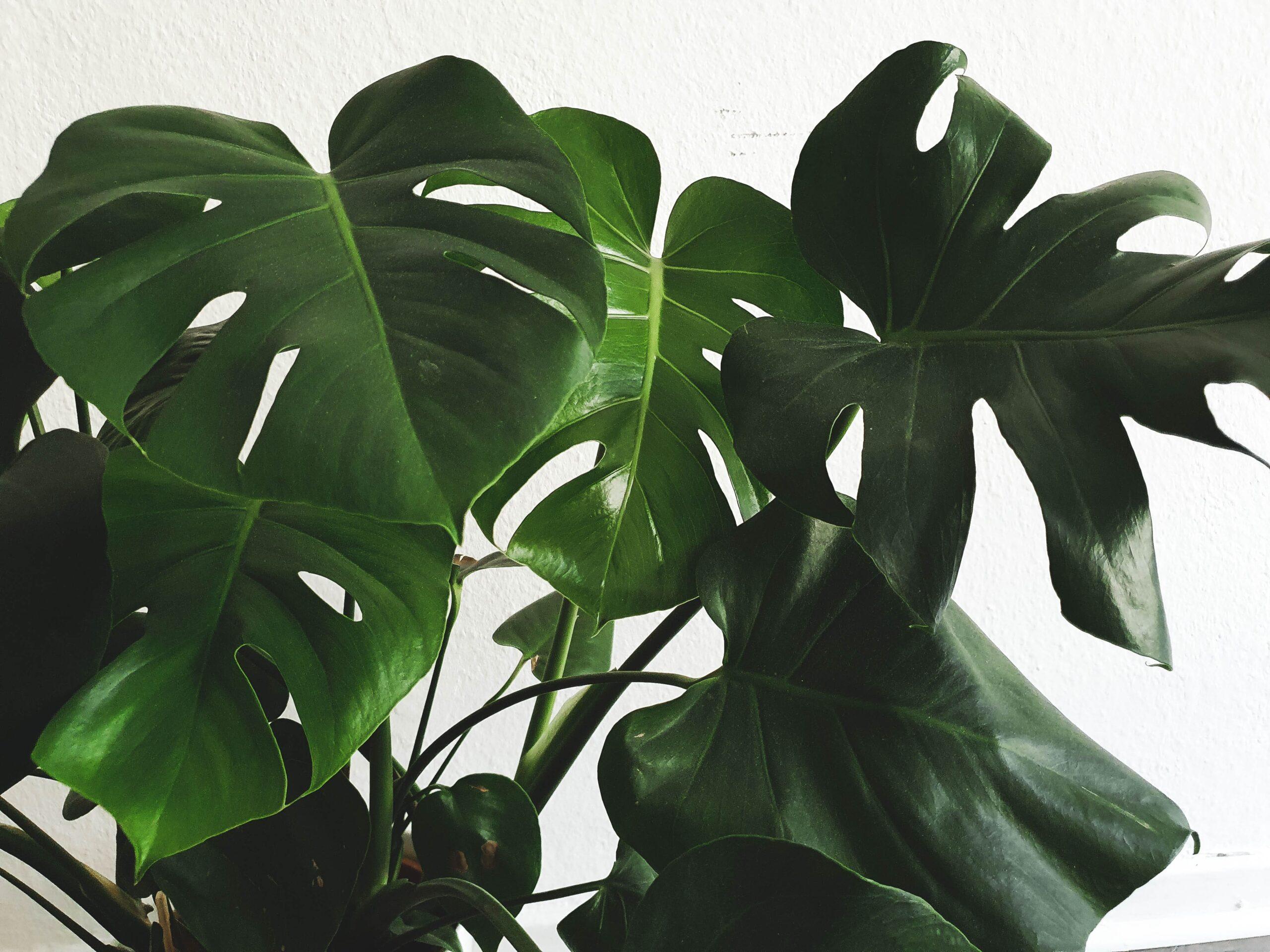 Pflanzen für dunkle räume vorschau